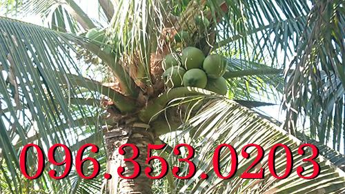 Giá dừa xiêm hôm nay tại vườn Bến Tre Miền Tây