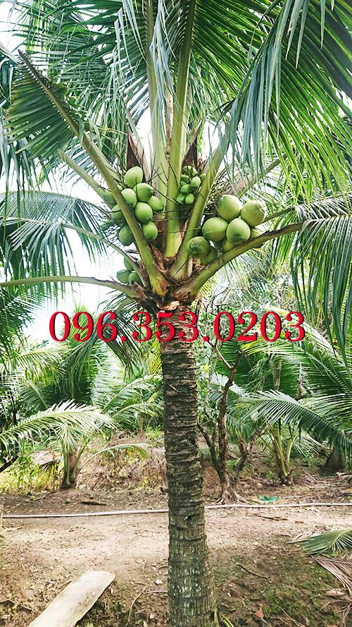 cây dừa xiêm xanh giống lùn chuẩn rặc ở bến tre bao ngọt