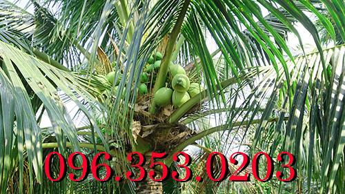 cây dừa xiêm xanh rặc chuẩn bến tre