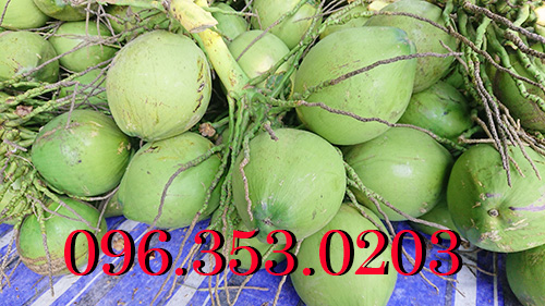quả dừa xiêm xanh chuẩn rặc tại bến tre miền tây miền nam