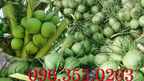Ở đâu nhiều dừa nhất? - cần tìm nguồn dừa xiêm số lượng lớn