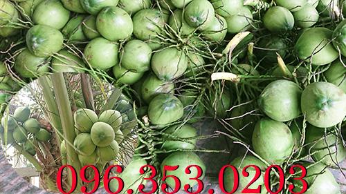 Mua dừa xiêm xanh giá sỉ số lượng lớn Bến Tre