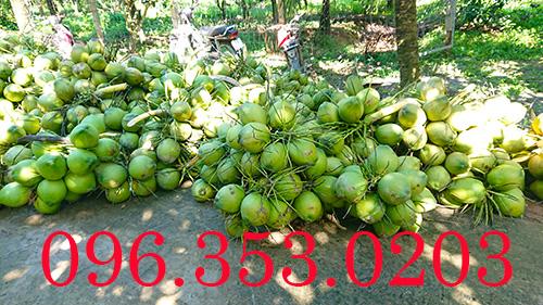 Dừa xiêm xanh tại vườn ở Bến Tre cắt về bỏ mối | bỏ sỉ cho các đại lý dừa xiêm xanh