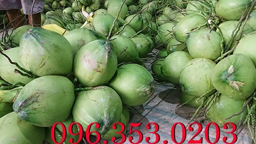 Vựa dừa lớn nhất bến tre chuyên cung cấp dừa xiêm xanh
